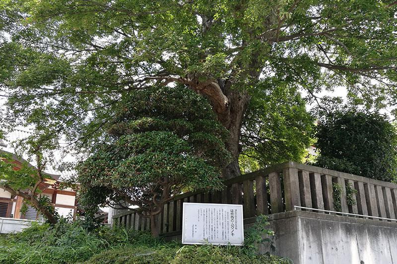 延命寺のムクノキ