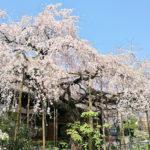 玉蔵院 しだれ桜