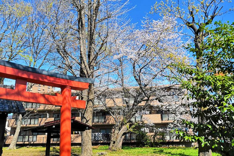 本太三角稲荷 桜