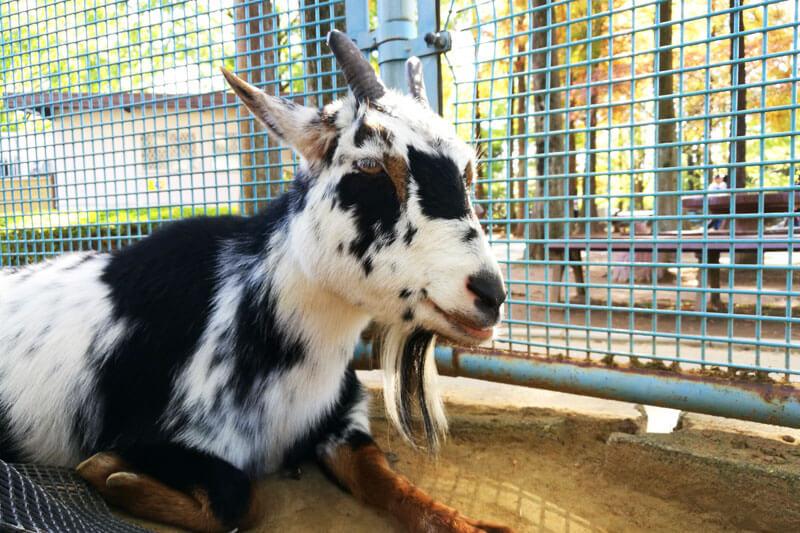 さいたま市子供動物園 ヤギ