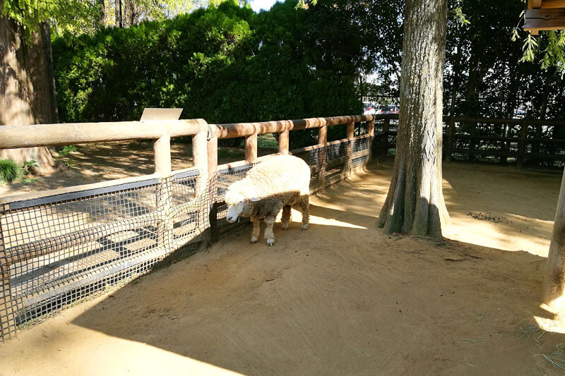さいたま市子供動物園 羊