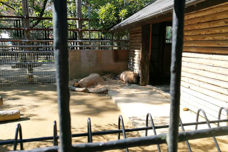 さいたま市子供動物園 カピバラ