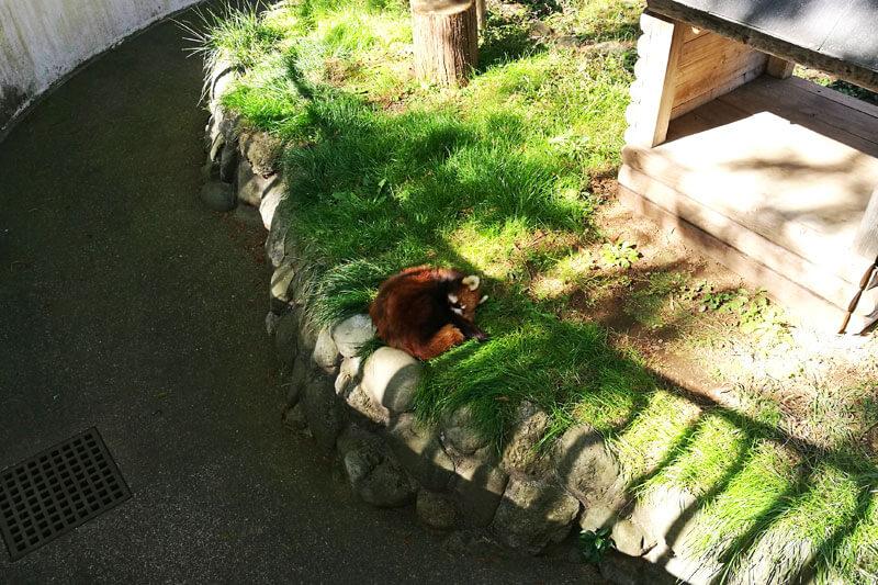 さいたま市子供動物園 レッサーパンダ