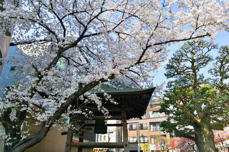 浦和不動尊 大善院 鐘楼と桜と源平枝垂れ桃