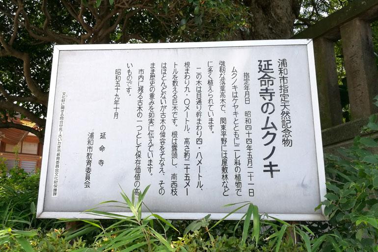 浦和 延命寺のムクノキ
