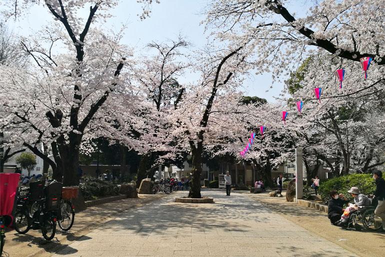調公園 桜(ソメイヨシノ)