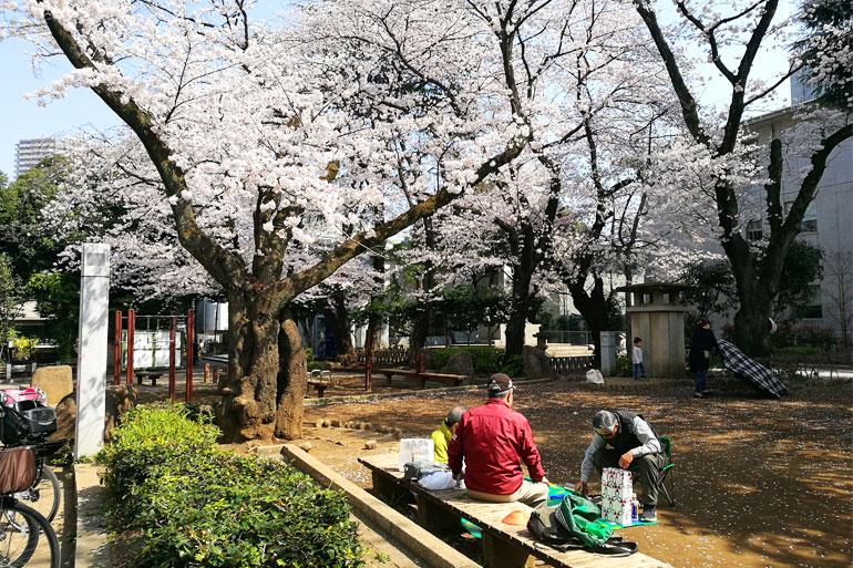 調公園 桜(ソメイヨシノ) お花見