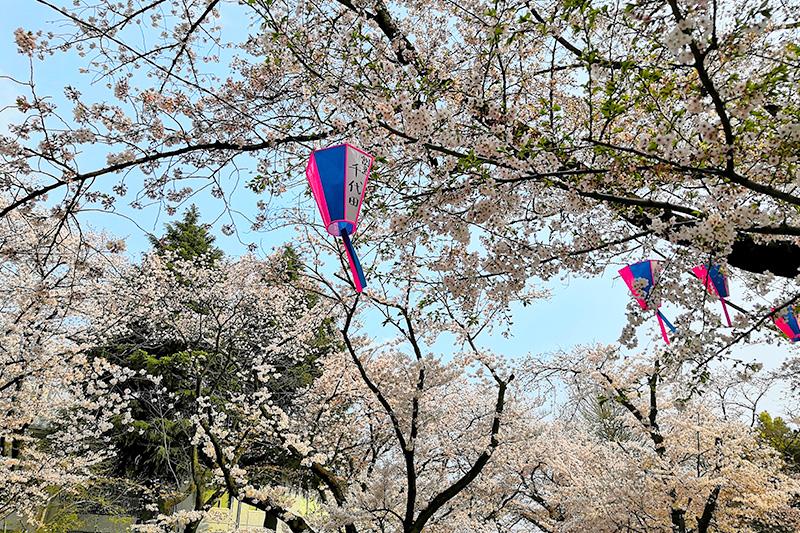 浦和で人気のお花見スポット「調公園」みごとな桜が園内を覆う姿は圧巻です