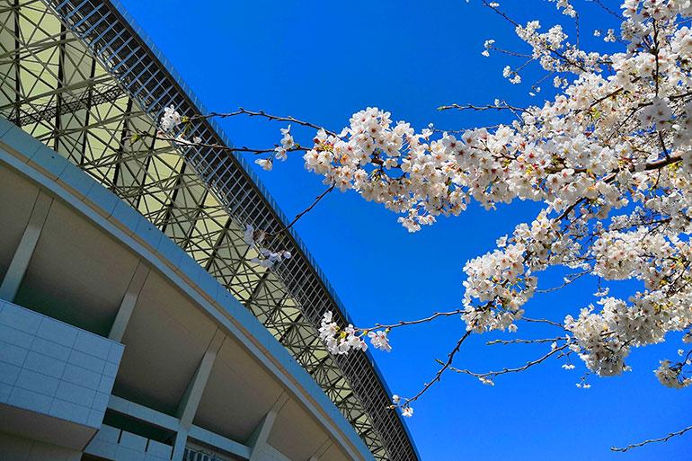 埼玉スタジアムの桜が綺麗なのでご覧ください