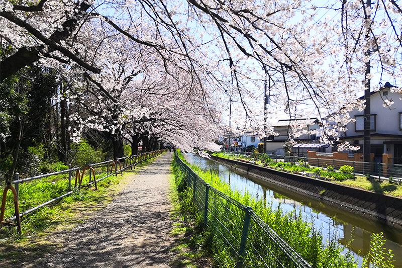 日本一!「見沼田んぼの桜回廊」を歩く