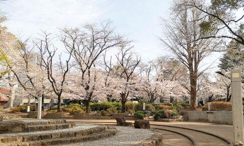 調公園の桜が満開間近、今週末が見頃かもしれない