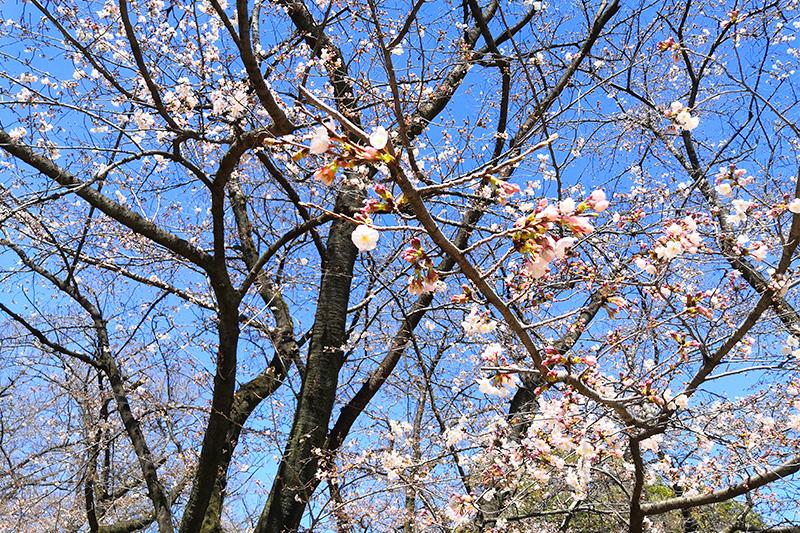 調公園の桜が咲き始め 自粛要請が出ているため花見客はなし