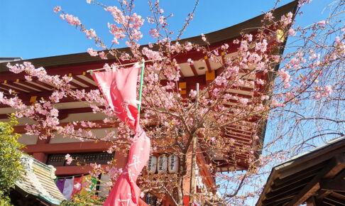 大善院の河津桜