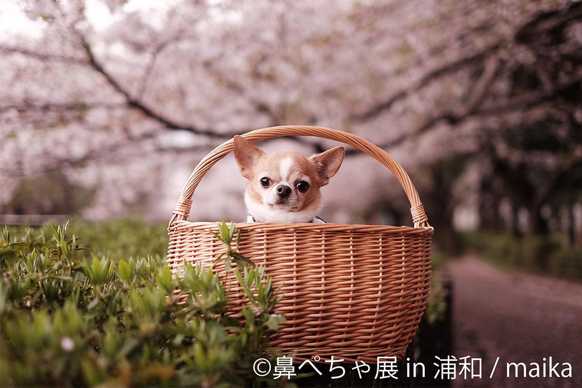 パグ、チワワなど癒しの「鼻ぺちゃ展 in 浦和」浦和パルコで3月3日~9日開催